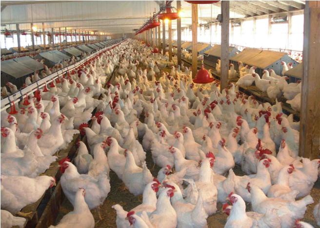Click Farm meets Cluck Farms